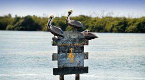 rio-lagartos-pelicanos